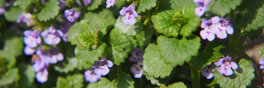 Image result for ground ivy